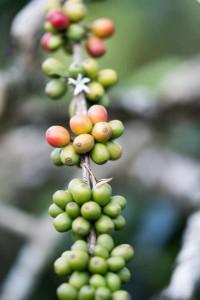 cafeimportssumatraar-4