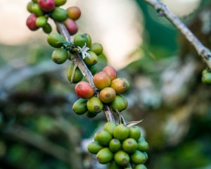 cafeimportssumatraar-5